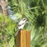 Loggerhead Shrike with food