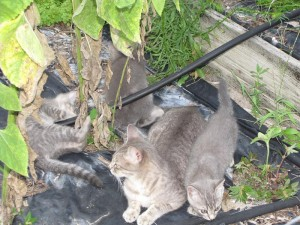 Kittens playing in the Garden