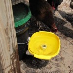 Cleaning the chicken waterer