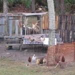 Chicken Fence height