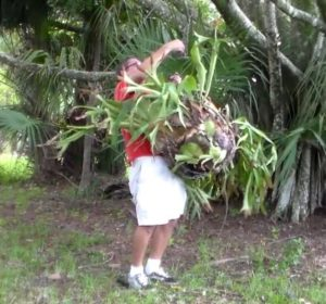 Hanging the Staghorn Fern