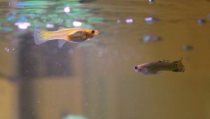 Female and  Male Cobra Guppy