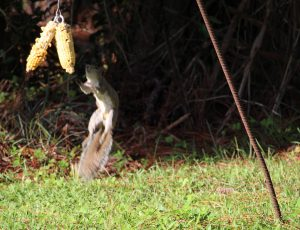 Squirrel Jumping for Squirrel food