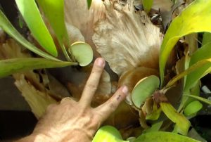 Propagating staghorn fern