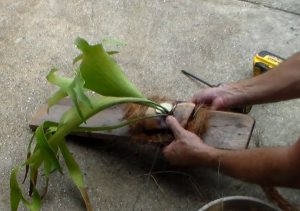 Propagating staghorn fern by cutting
